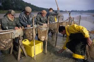 Après la pêche, le tri du poisson dans l'auge  en bois nommée « gruyère »