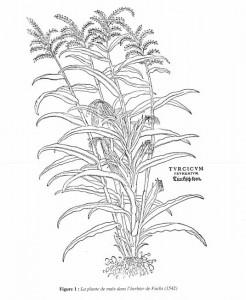 Gravure représentant le maïs (Turcicum frumentum) dans l'Herbier de Fuchs (1542)